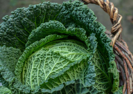fresh savoy cabbage in the Basket  on daylight close up winter season  Vegetables Stock Photo