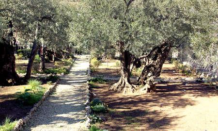 the Garden Gethsemani  the olive garden that Jesus visited Jerusalem
