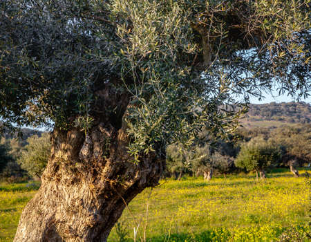 old olive trees grove and blue sky in Sunny Alentejo Landscape Portugal