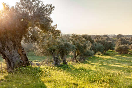 old olive trees grove in bright morning  sunlight Alentejo Landscape Portugal
