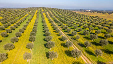 Drone aerial view of Giant olive grove in Alentejo Portugal