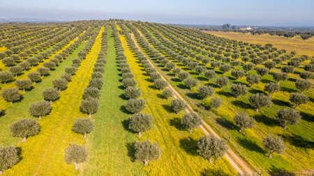 Drone vista aérea del olivar gigante en Alentejo Portugal Foto de archivo