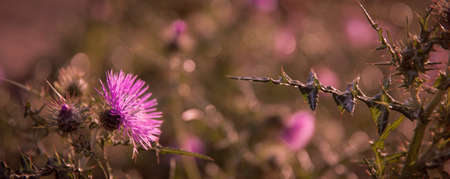 thistle Flowers  Field  close up nature bokeh background