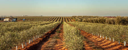 Young olive trees grove in Alentejo Portugal Food Agriculture
