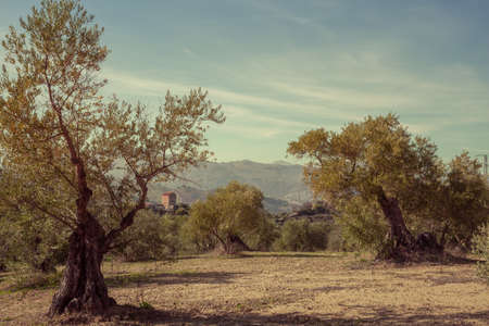 Olive Trees Vintage Landscape in Ronda Andalusia Spain 版權商用圖片