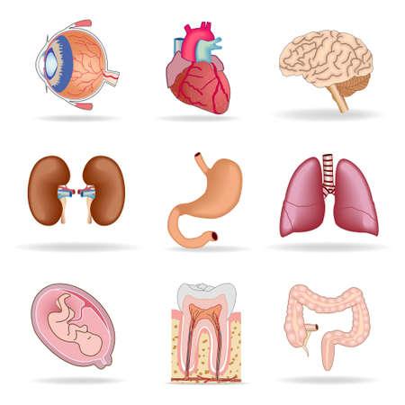 Voorbeelden van de interne organen.