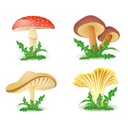 edible mushroom: Mushrooms  Illustration