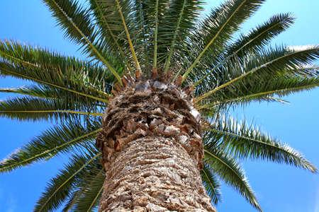 Big palm tree on blue sky Stock Photo - 15659974