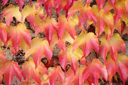Red-yellow leaves of a climbing plant as background Stock Photo - 17164028