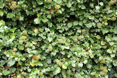 Green, fresh climber as beautiful background closeup Stock Photo - 17361737