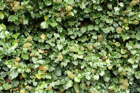 Green, fresh climber as beautiful background closeup Stock Photo - 17361737