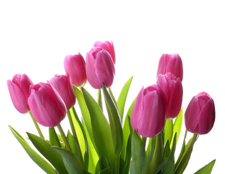 Fresh pink tulips isolated as background, closeup