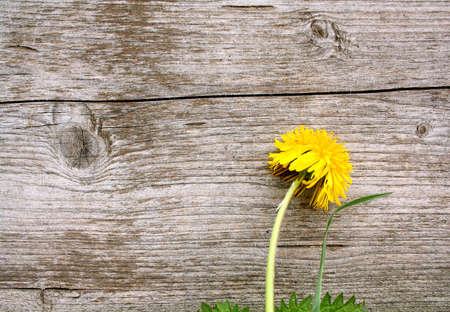 The old board and yellow flower, close up