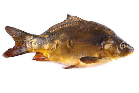 Thickness fresh mirror carp on white background, isolated