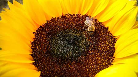 girasol: Abeja en un girasol, la recolecci�n de polen, horizontal Foto de archivo