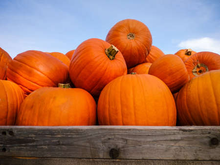 pumpkin patch: Giant pumpkins on blue sky, horizontal