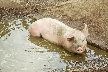 Pig lies in puddle, top view