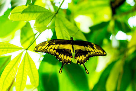 hindwing: Papilio ophidicephalus, emperor swallowtail butterfly perched on leaf, blurred