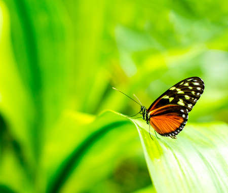 Morpho achilles butterfly portrait with bokeh blurred Stock Photo