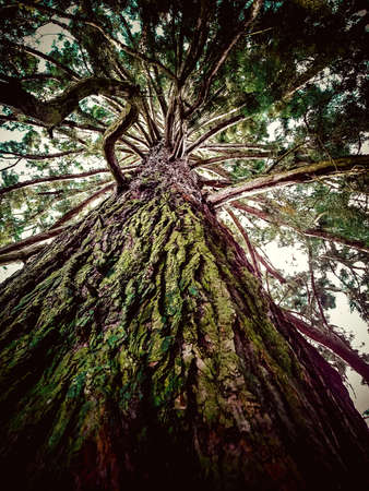 huge: Huge old tree from below as background Stock Photo