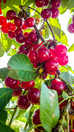Bunches of ripe cherries filled with sun light, close up Stock Photo
