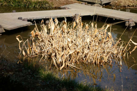 gregarious: Clumps of reed pond, Gregarious beauty pond, withered beauty group of pond