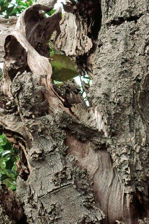 樹皮を感じる年の多くの年 写真素材