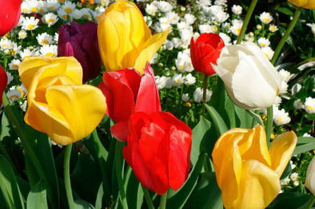 charmed: Red and yellow tulips