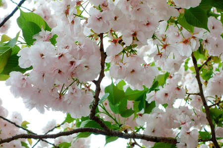 charmed: Cherry tree that blooms here each and just Stock Photo