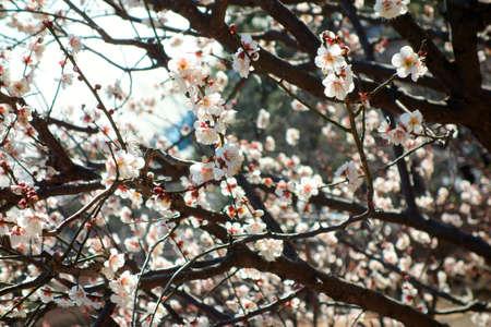 charmed: Plum blossom