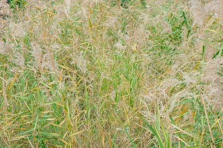 gregarious: Pampas grass fields, clumps of lush river Kusayabu