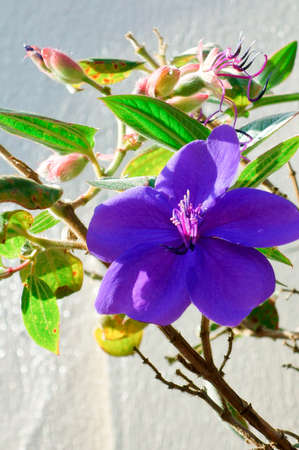 dainty: Purple glossy and graceful and dainty flower