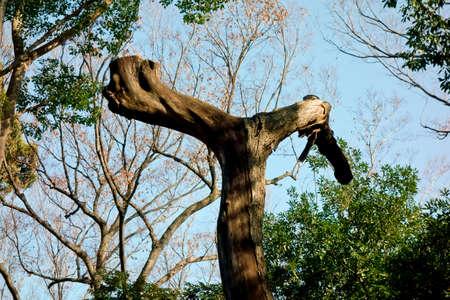 神社の敷地内に生えている樹木のオブジェ 写真素材
