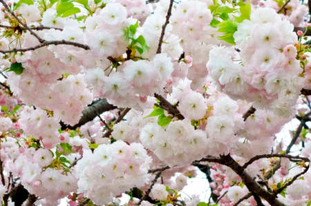 Gorgeous and glamorous cherry blossoms Banco de Imagens