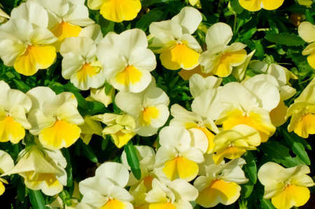 Pale yellow casual flowers blooming in the flower bed Banco de Imagens