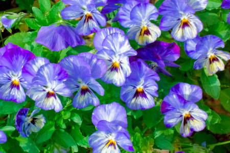 Purple casual flowers blooming in the flower bed Banco de Imagens