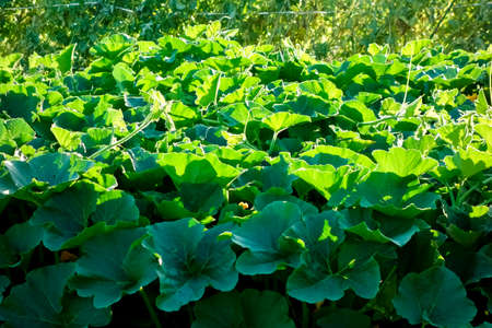Glossy green pumpkin leaves