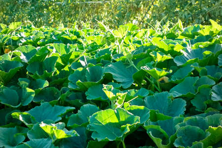 Glossy green pumpkin leaves glowing in sunshine