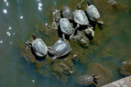 Turtles inhabiting ponds sunbathing in the sun