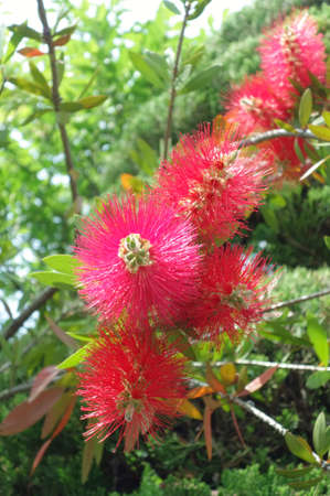 Red glossy and unique flower like Tsukoshi
