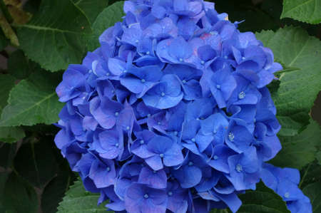 Graceful and brilliant hydrangea, shiny hydrangea