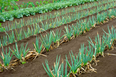 Well-kept green onion field