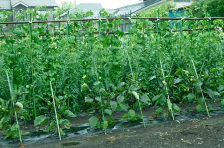 Tomato cultivation field