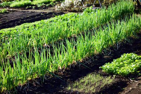 Leek field shining in the early morning sun