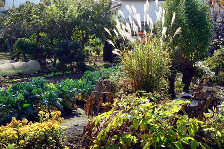 A garden with dazzling Japanese pampas grass under the autumn sky