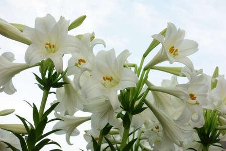 Brilliant and elegant narcissus flowers
