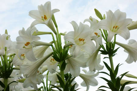 Brilliant and elegant narcissus flowers Фото со стока