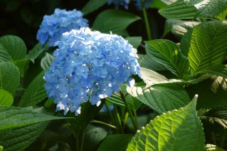 Bright blue hydrangea flowers during the rainy season