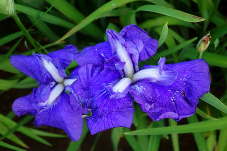 Iris, irises, and dainty and elegant flowers in colorful colors