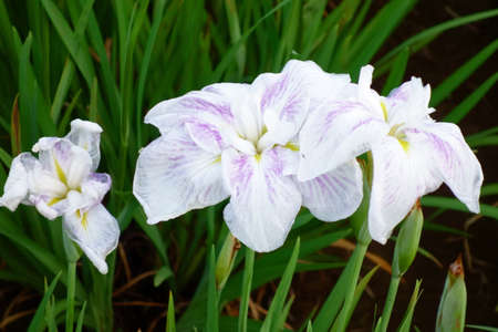 Iris, irises, and dainty and elegant flowers in colorful colors Фото со стока